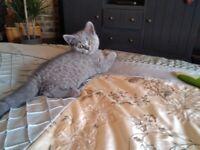 Pedigree bsh blue kittens