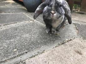 Boy harlequin rabbit lop