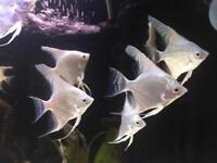 Fish - tropical fish - angel fish