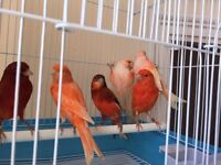 Canary many colour and type single & pair birds ,full white, full red factor, gloster, and cage
