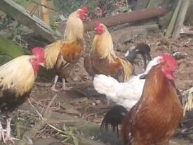 free cockrells, roosters for rehoming. free to good homes
