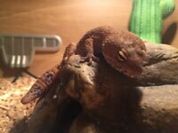 Leopard gecko female. 2yo. £170 Ono