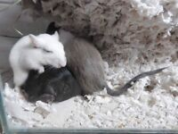 *Rescue* Adorable pair of young male gerbils