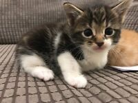 Kittens 5 available long and shorthair