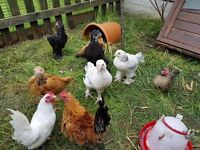 chickens for sale chicks