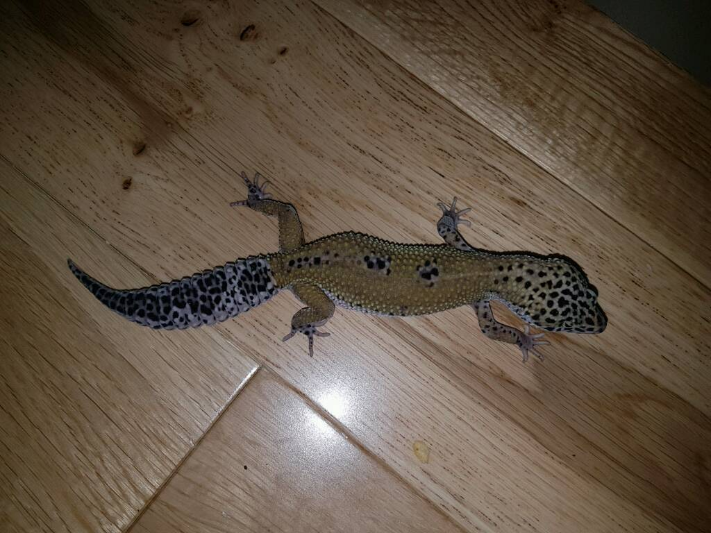 Leopard gecko mack snow hypo