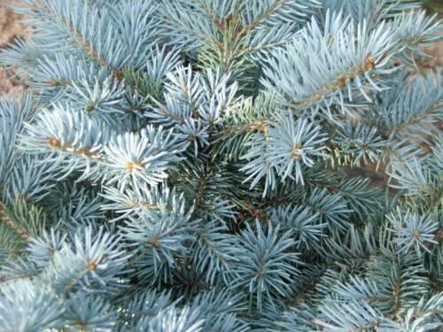 Colorado Blue Spruce (Picea pungens glauca), 50 seeds