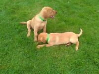 K.C. Red Labrador puppies. Fully Health Tested Parents