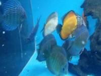 14 Discus fish