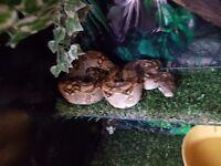 Boa constrictor cb14 male