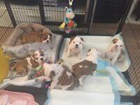 English Bulldog Pups KC Registered