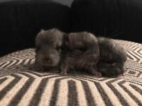 3 Chinchilla Kits For Sale ***only 1 left to reserve***