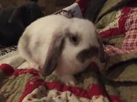 The most adorable and sweet baby Holland Lop Girl!