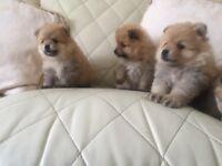 Beautiful Pomeranian pups 3 females 1 male