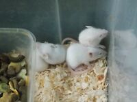 WHITE LABORATORY MICES WITH RED EYES