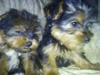 Teacup yorkshire terrier puppys