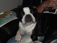 BOSTON TERRIER X GRIFFON (Brussels) PUPS.. Male and Female. Smooth Coat.