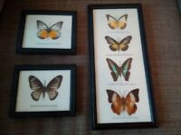 Taxidermy butterfly pictures
