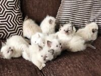 Lovely Ragdoll kittens ready to new home. Left only 2