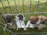 Small Jack Russell Pups