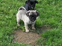 Pug look alikes.