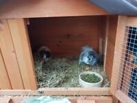 Gunie pigs x2