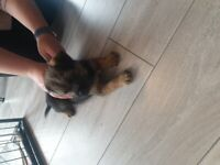 Border terrier puppy. boy available