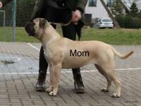 KC registered Bullmastiff puppies or sale