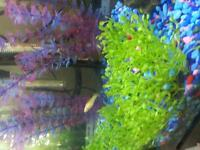 4 Young Pineapple Swordtail Fish for Sale