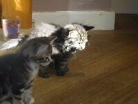 Two beautiful Kittens for sale