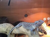 Young bearded dragon and set up