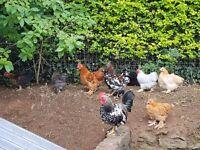 Hens, roosters, pekins