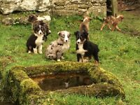 Puppys for sale. Collies.