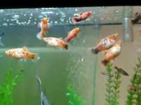 Orange and black platy tropical fish
