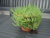 Mature Trailing Succulent in vintage terracotta pot