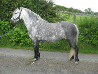 Grey pony mare 12hh