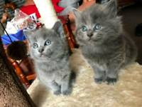 GORGEOUS RUSSIAN BLUE KITTENS