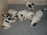 Shih Tzu/Jack Russell puppies