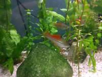 Tropical Fish - Neon Swordtails