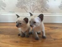 Siamese kittens for sale (Only 1 left)