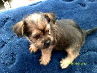 beutiful yorkie x shih tzu puppy girl 8 weeks old