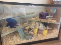 3x Roborovski Hamsters and Cage