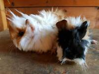 Baby long hair Peruvian guinea pigs