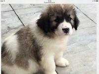 Pedigree Caucasian Shepherd pups