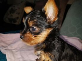 Yorkshire Terrier pups excellent pedigree