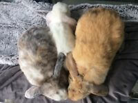 Bonded pair of beautiful dwarf lop rabbits for a forever home