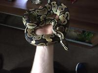 3ft python 4ft walnut vivarium