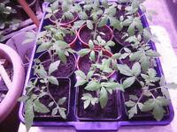 Tomato plants MONEY MAKER