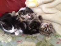 Beautiful TABBY kittens ready to find a new home