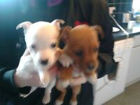 Puppys for sale half lakeland fell teria and half staffirdshire bull terria